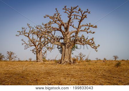 Massive baobab trees in the dry arid savannah of south west Senegal.