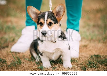 Puppy Welsh Corgi dog sitting at feet of owner. The Welsh corgi is a small type of herding dog that originated in Wales