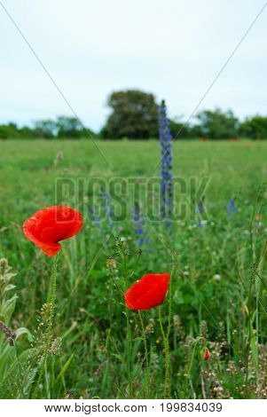 Two red shiny poppy flowers and blueweed in a green field
