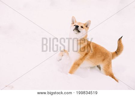 Young Japanese Small Size Shiba Inu Dog Play Outdoor In Snow, Snowdrift At Sunny Winter Day. Copy Space, Copyspace.