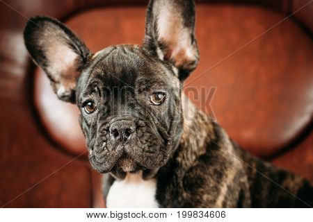 Close Up Potrait Of Young Black French Bulldog Dog Puppy With White Spot Sit On Red Sofa Indoor. Funny Dog Baby