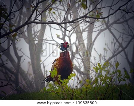 pheasant standing in a field in the fog