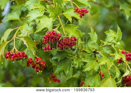Branches With Large Clusters Of Red Viburnum. Red Viburnum Closeup In The Garden