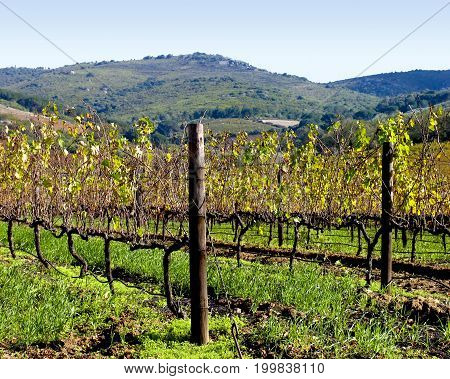 FROM STELLENBOSCH, CAPE TOWN, SOUTH AFRICA, VIEW OF GRAPE VINES ON A CLEAR DAY