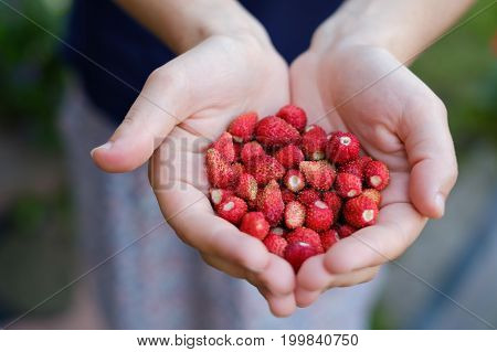 Woman's hands holding a bunch of strawberries. Healthy diet and food