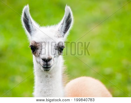 Baby llama portrait. Cute south american mammal.