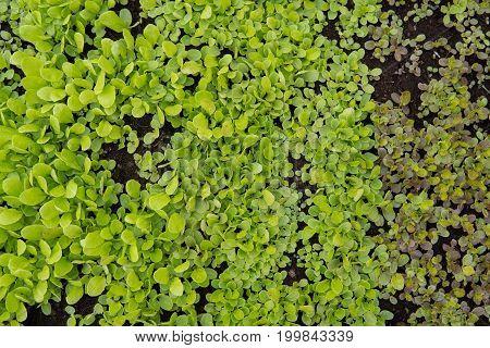 Lettuce Leaf Detail