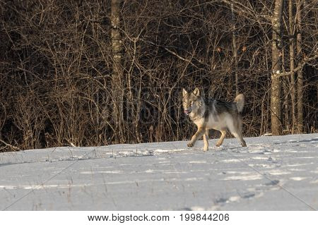 Grey Wolf (Canis lupus) Prances Left Tongue Out - captive animal