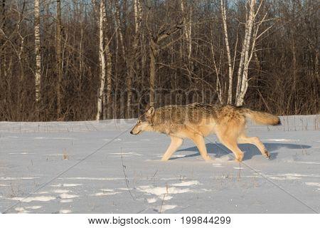 Grey Wolf (Canis lupus) Runs Left Through Snow - captive animal