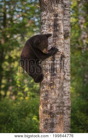 Black Bear (Ursus americanus) Cub Climbs Down Tree - captive animal