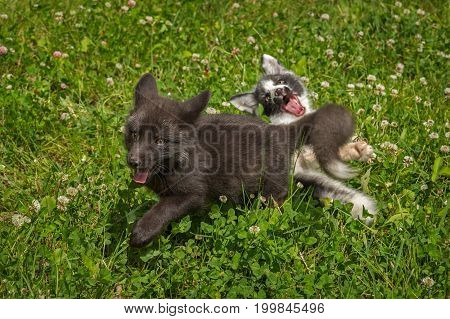 Silver Fox and Marble Fox (Vulpes vulpes) Playing - captive animals