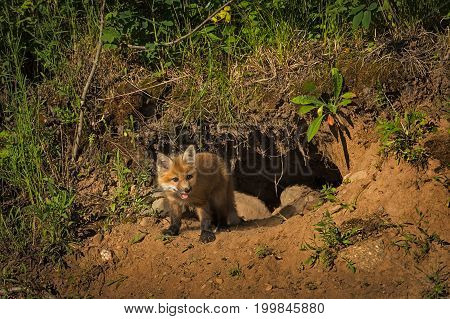 Red Fox Kit (Vulpes vulpes) Stands in Front of Den - captive animal