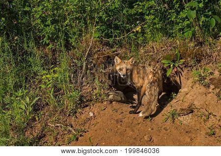 Red Fox Vixen (Vulpes vulpes) Turns at Den - captive animal