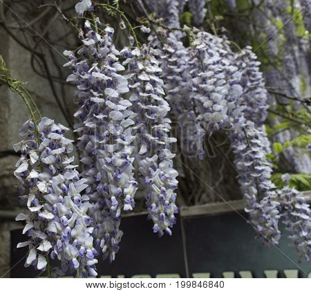 Beautiful Japanese Wisteria climbing old brick wall in English country garden