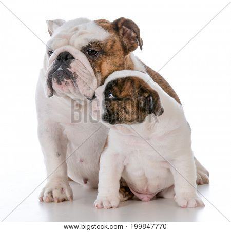 mother and son dogs on white background