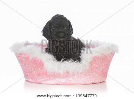 adorable cocker spaniel puppy in a dog bed