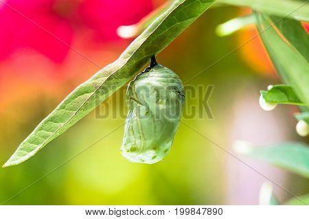 Monarch chrysalis in the garden macro shot