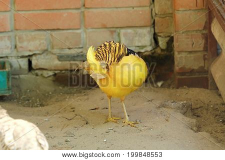 Beautiful bird yellow pheasant in a zoo