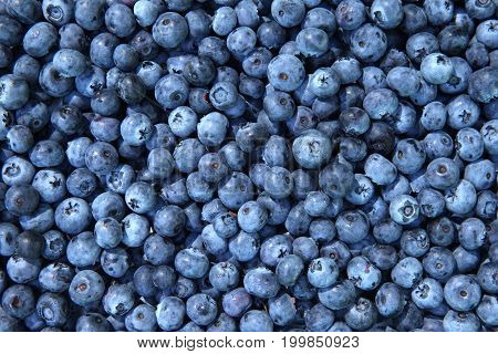 Blueberries background. Ripe and juicy fresh picked bilberries.