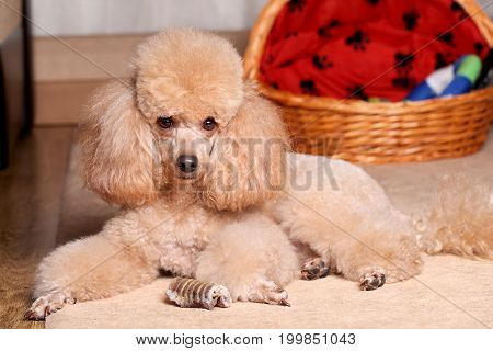 Miniature Poodle lying near dry bone. Indoor shoot