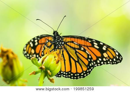 Monarch butterfly - Danaus plexippus macro shot