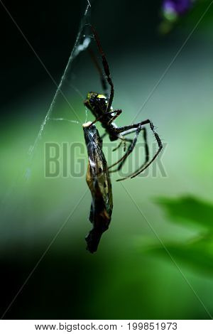 A Thai Orb Weaver Spider with a butterfly snack