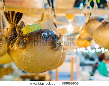 TOKYO, JAPAN JUNE 28 - 2017: Close up of a dry blowfish hanging in a Tsukiji Market, is the biggest wholesale fish and seafood market in the world, in Tokyo. Fish eye effect.