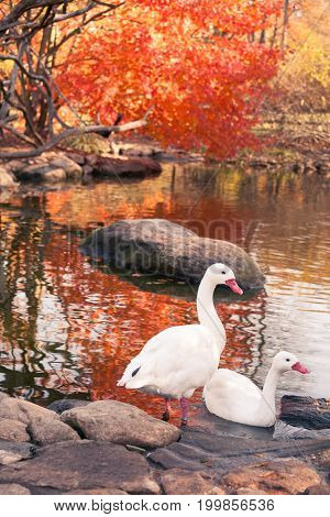 Two geese by a pond and beautiful fall colors.