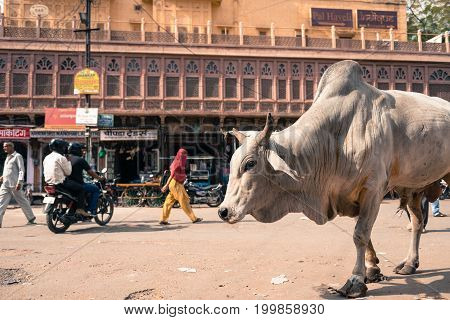 JODHPUR RAJASTHAN INDIA - MARCH 04 2016: Wide angle picture of a cow holy animal in Jodhpur the blue city of Rajasthan in India.
