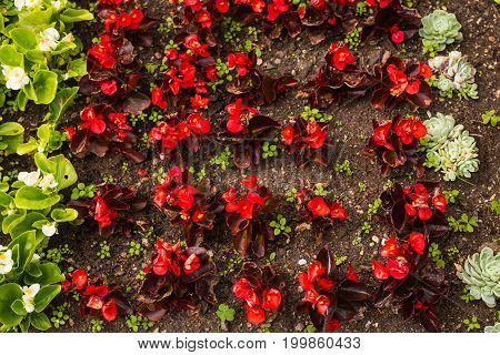 Bed of red and bed of white flowers