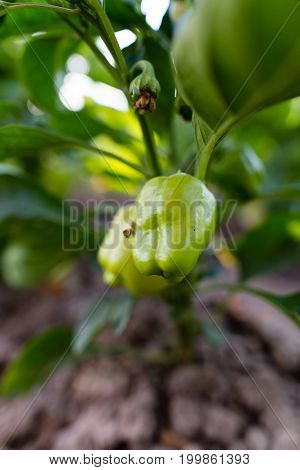 Green pepper on the plant in the garden .