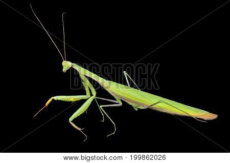 A close up of the mantis profile. Isolated on black.