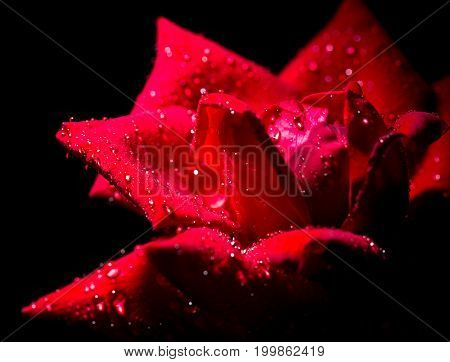Beautiful red rose with water drops as background