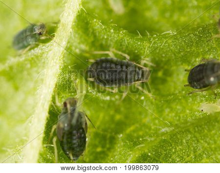 Aphids on a green leaf in nature. macro