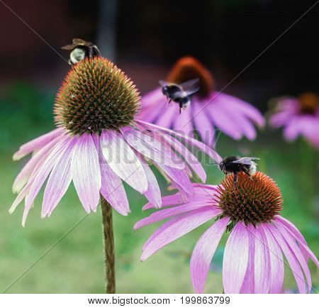 Echinacea. A genus or group of herbaceous flowering plants in the daisy family. Close up.