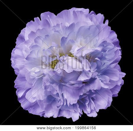 Peony flower purple on the black isolated background with clipping path. Nature. Closeup no shadows. Garden flower.