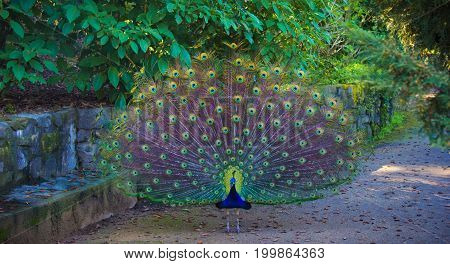 Majestic peacock with full tail unfurled on an autumn day in a garden.