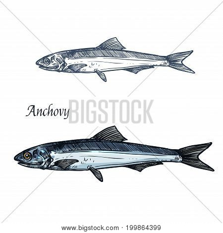Anchovy fish isolated sketch. European anchovy, small saltwater forage fish symbol for seafood and fish market label, fishery industry themes design