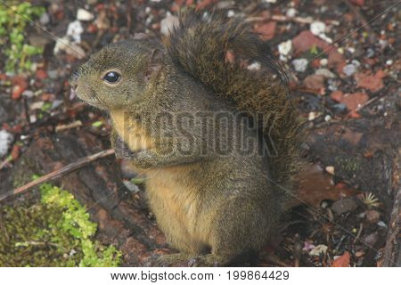 Bangs's Mountain Squirrel (Syntheosciurus brochus) is a nearly unknown species of tree squirrel, that only lives in Costa Rica and Panama. (Photo taken on march 5, 2017 at Poás Volcano National Park in Costa Rica)