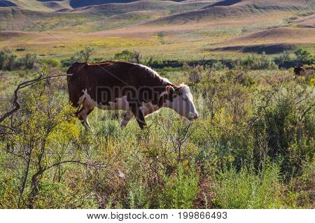 Cow in the steppe in spring near the Ili River Kazakhstan.