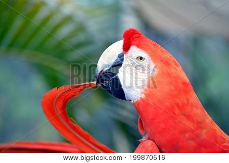 Red macaw bites tip of own tail.