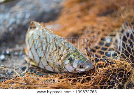 Fish In Fishing Net. Animal..