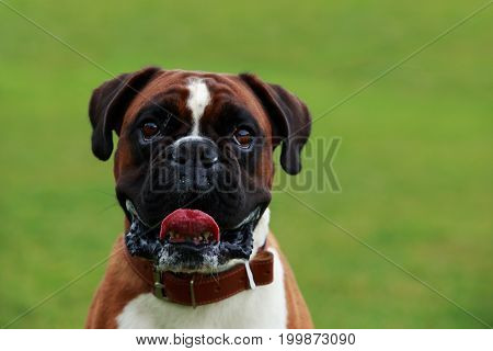 The dog breed Boxer close-up on green grass