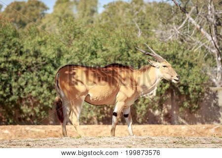 Single Eland Antelope