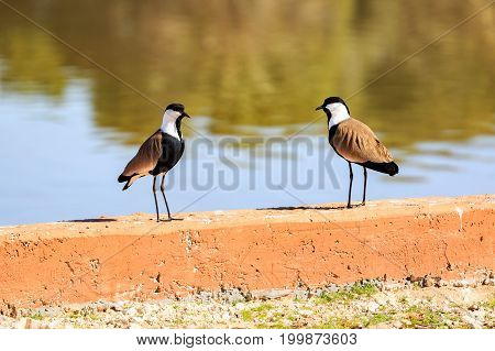 Two spur-winged lapwings is near a lake