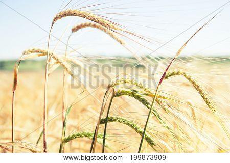 Ripe Yellow Spikelet In Field