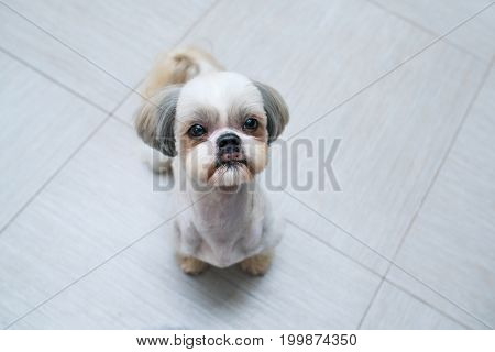 Shih tzu dog sitting at kitchen and asking owner something to eat