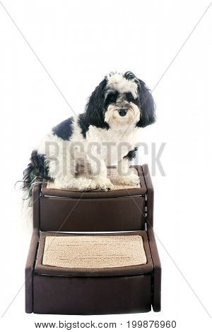 black and white dog. A black and white Havanese dog sits on his own special Dog Stairs. Isolated on white. Room for text.
