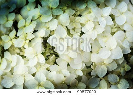 Nice background made from closeup white flowers