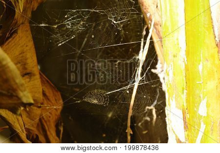 cobweb hiding in dark hole behind banana trunk and leaf